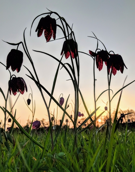 Snake's-head fritillaries