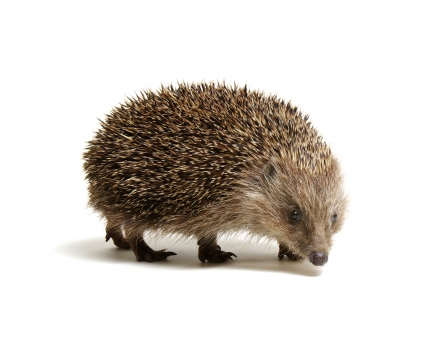 Hedgehog against a white background