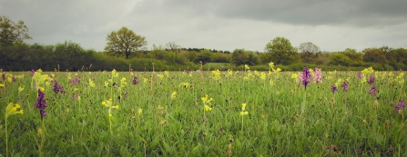Orchids and cowslips in Bernwood Meadows