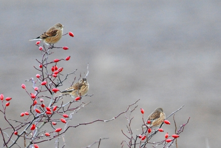 Linnets and rosehips