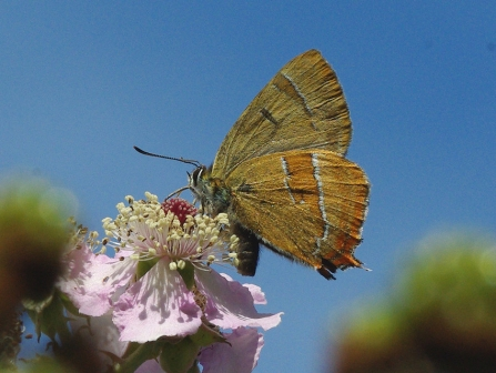 Brown hairstreak butterfly on blossom