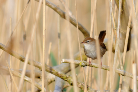 Cetti's warblers