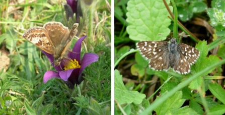 Dingy and grizzled skipper