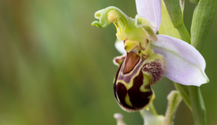 Bee orchid