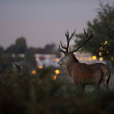 Red deer and city lights