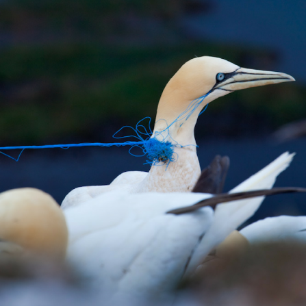 Gannet trapped in plastic