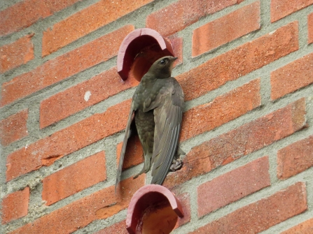 Common swift on swift brick