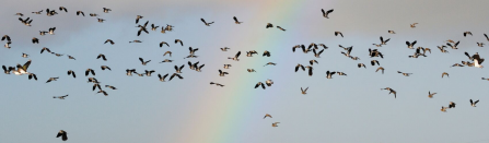 lapwing flying against rainbow