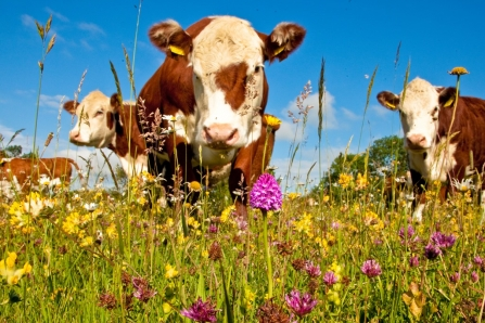 Hereford cattle grazing on a wild flower meadow
