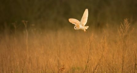 Barn owl in field