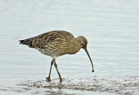 Curlew by Chris Gomersall/2020Vision
