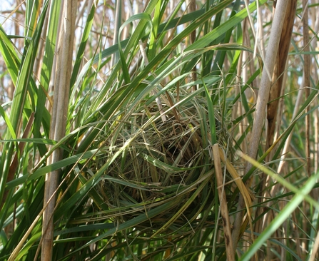 Harvest mouse nest by Martha Cowell