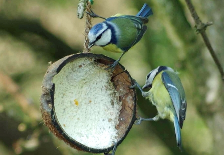 Bluetits by Gillian Day
