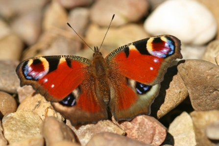 Peacock butterfly by Rachel Scopes