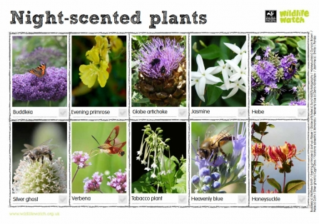 Night-scented plants spotter sheet