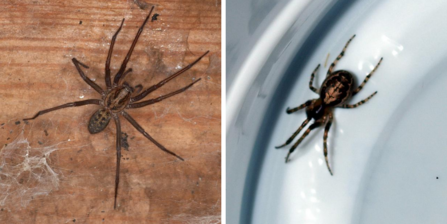 Giant house spider by Dr Malcom Storey/ false widow spider by Badgreeb Pictures