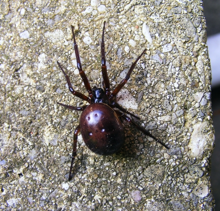 Noble false widow spider by Jane Adams