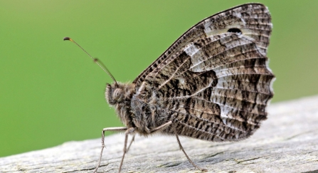 Grayling butterfly