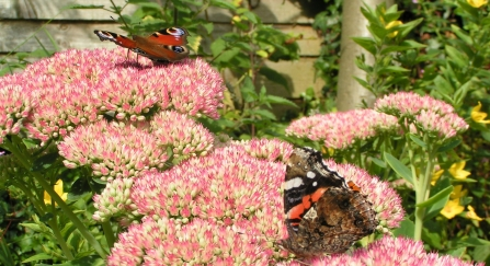 Peacock and red admiral