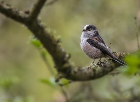 Long-tailed tit by Roy McDonald