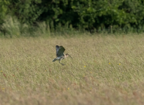Curlew at Chimney Meadows