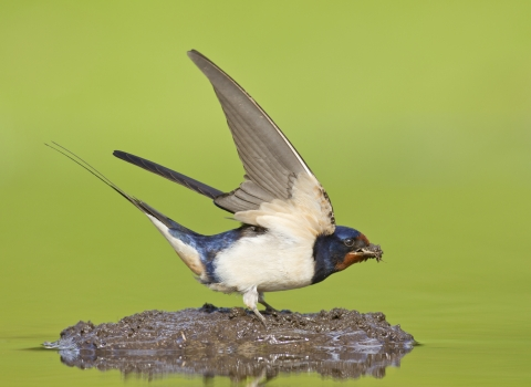 barn swallow diving for mud