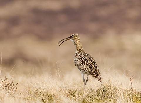 photo of curlew