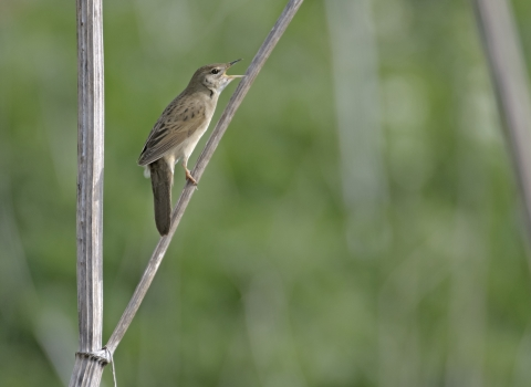 Grasshopper warbler singing in wetland scrub