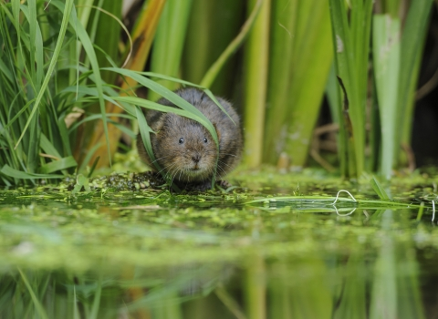 Water vole in river with reeds