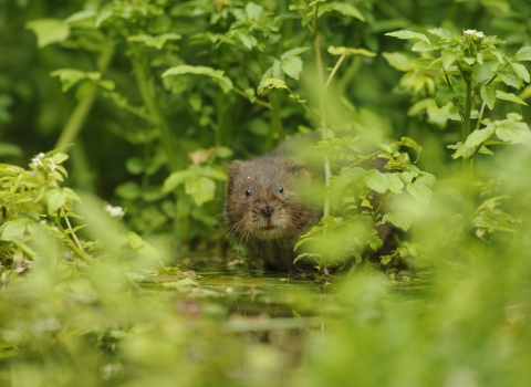 Water vole amongst riverside vegetation