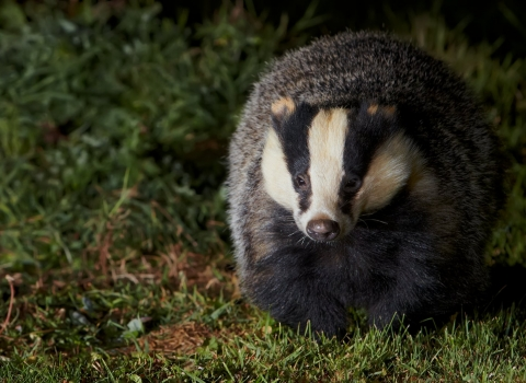Badger (Meles meles), walking across grass at night, Banbury, Oxfordshire, October, 2011 - Richard Steel/2020VISION